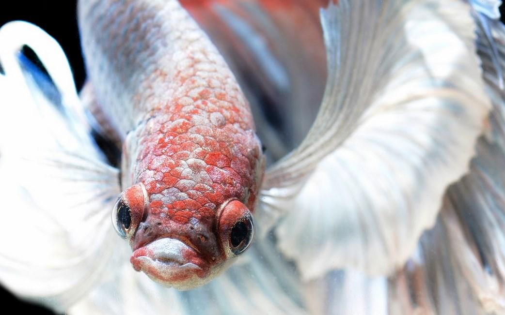 Ciri-Ciri Ikan Cupang Stress dan Cara Mengatasi Cupang Stress putih bersih