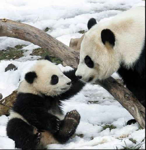 The Geography of Pandas
