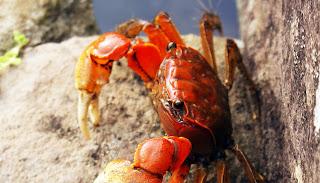 瀕臨絕種的「紅角螃蟹」