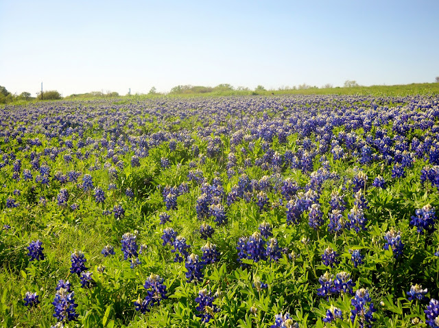 Field of Bluebonnets at White Rock Lake, Dallas, Texas
