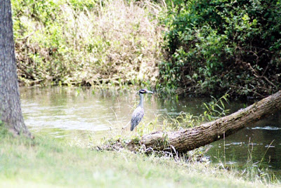 Yellow-crowned Night Heron Little Rock Arkansas Creek