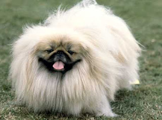pekingese dog breeds cute pets hound info puppy animal picture