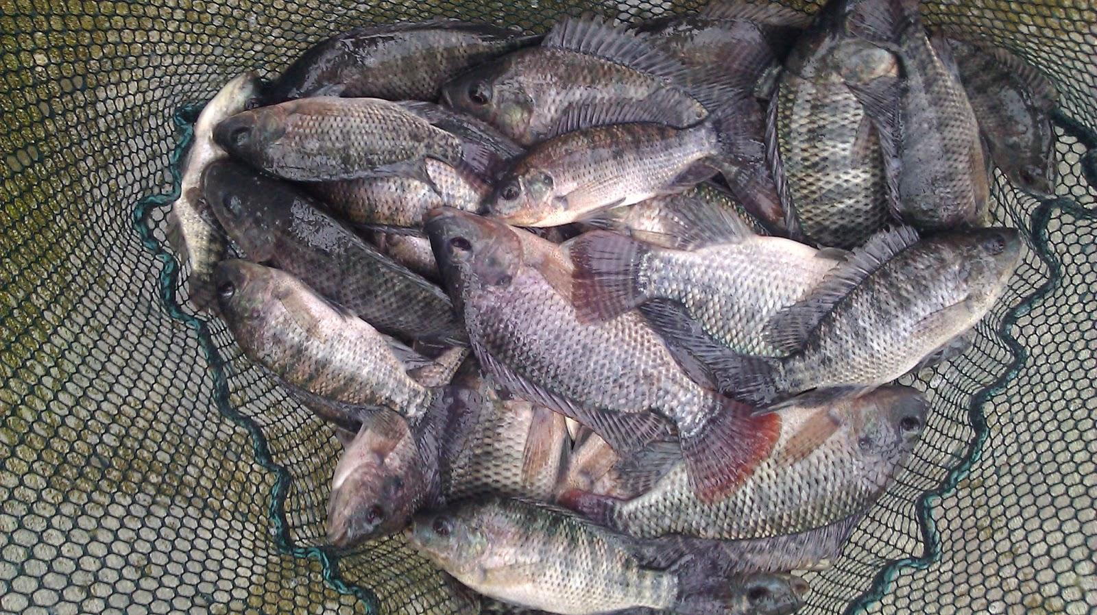 for Farm raised fish