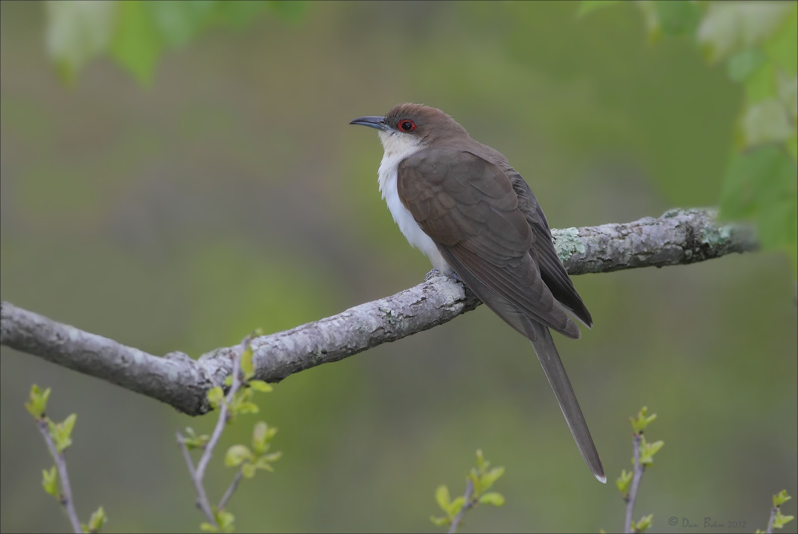 Black cuckoo bird - photo#19