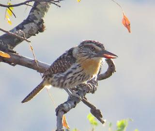 Spot-backed Puffbird