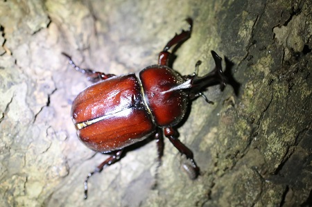 Japanese rhinoceros beetle (male)
