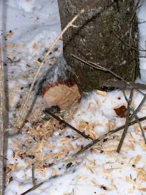 pileated woodpecker hole