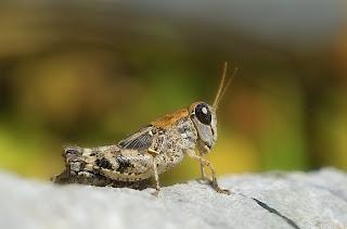 Calliptamus sp (Saltamontes)