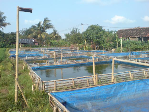 71978379 4 KOEBUL KOMONITAS BUDIDAYA IKAN LELE Dijual Budidaya Ikan Lele di Kolam Terpal