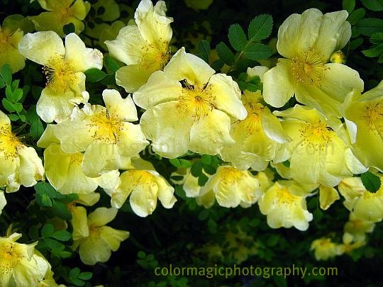 Flowering Rosa xanthina-Canary Bird flowers
