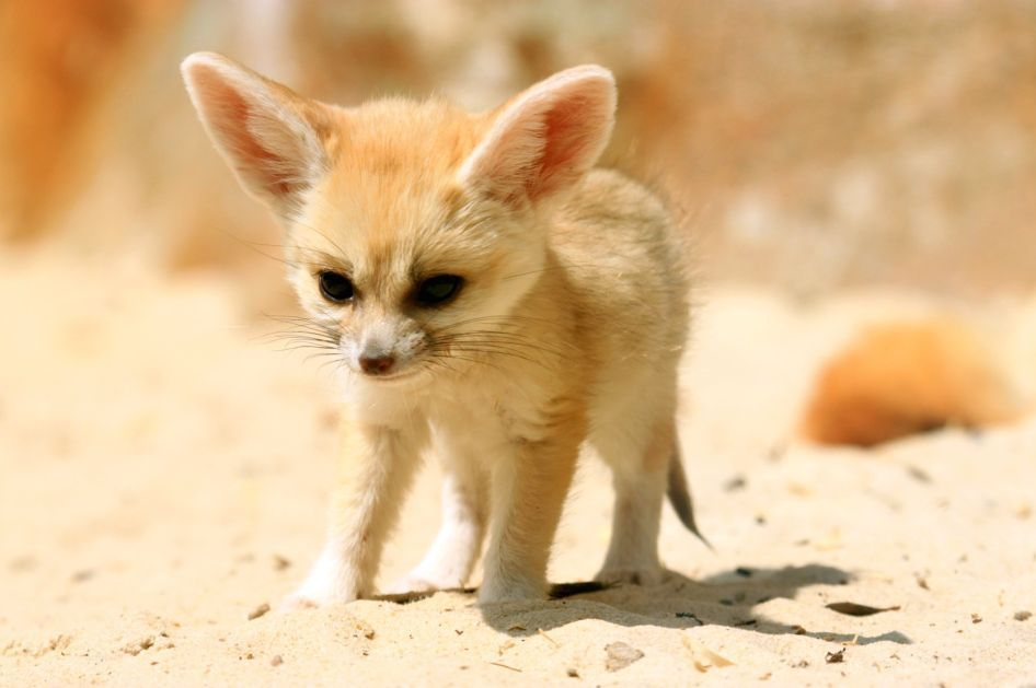 Fennec Fox The Life Of Animals