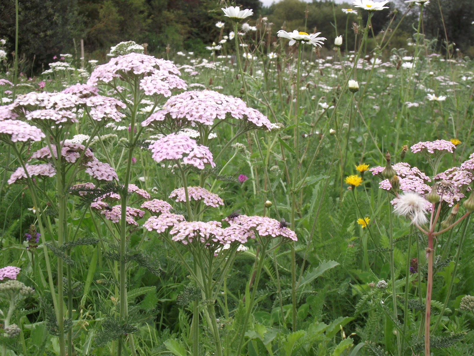 Meadowmat bringing back our wild flowers The Beauty of Yarrow