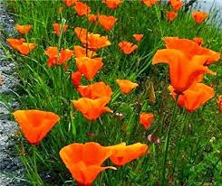 The poppies are gorgeous...
