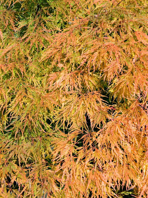 Acer palmatum dissectum Waterfall laceleaf Japanese maple autumn foliage by garden muses-not another Toronto gardening blog