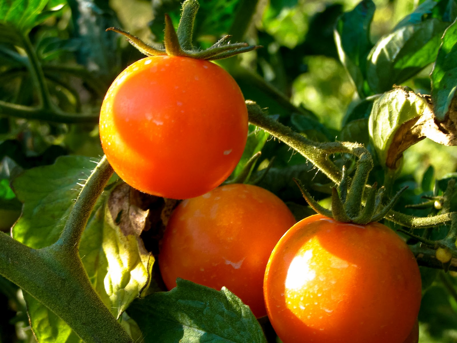 Tomatoes 2 2