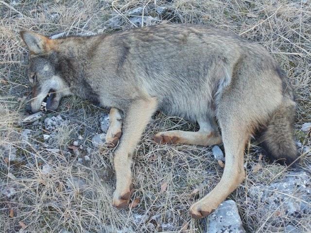 Μήνυση της Κυνηγετικής Ομοσπονδίας Μακεδονίας – Θράκης  για θανάτωση λύκου