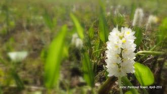 flores do pantanal