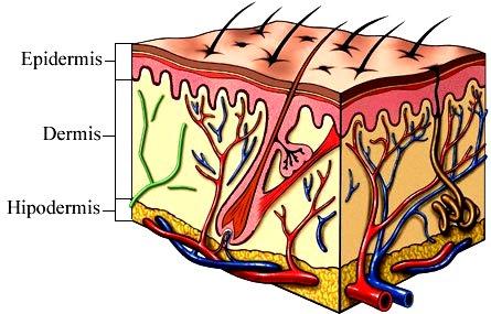 Ilustración de la Piel indicando sus 3 capas