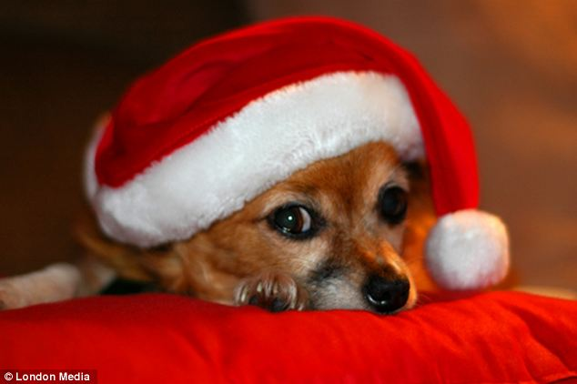 Not so merry this little dog has donned a christmas hat but does not