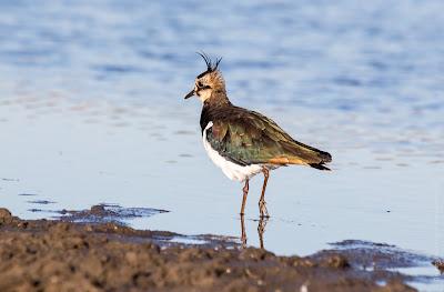 Чибис. Чайка. Lapwing. Vanellus vanellus