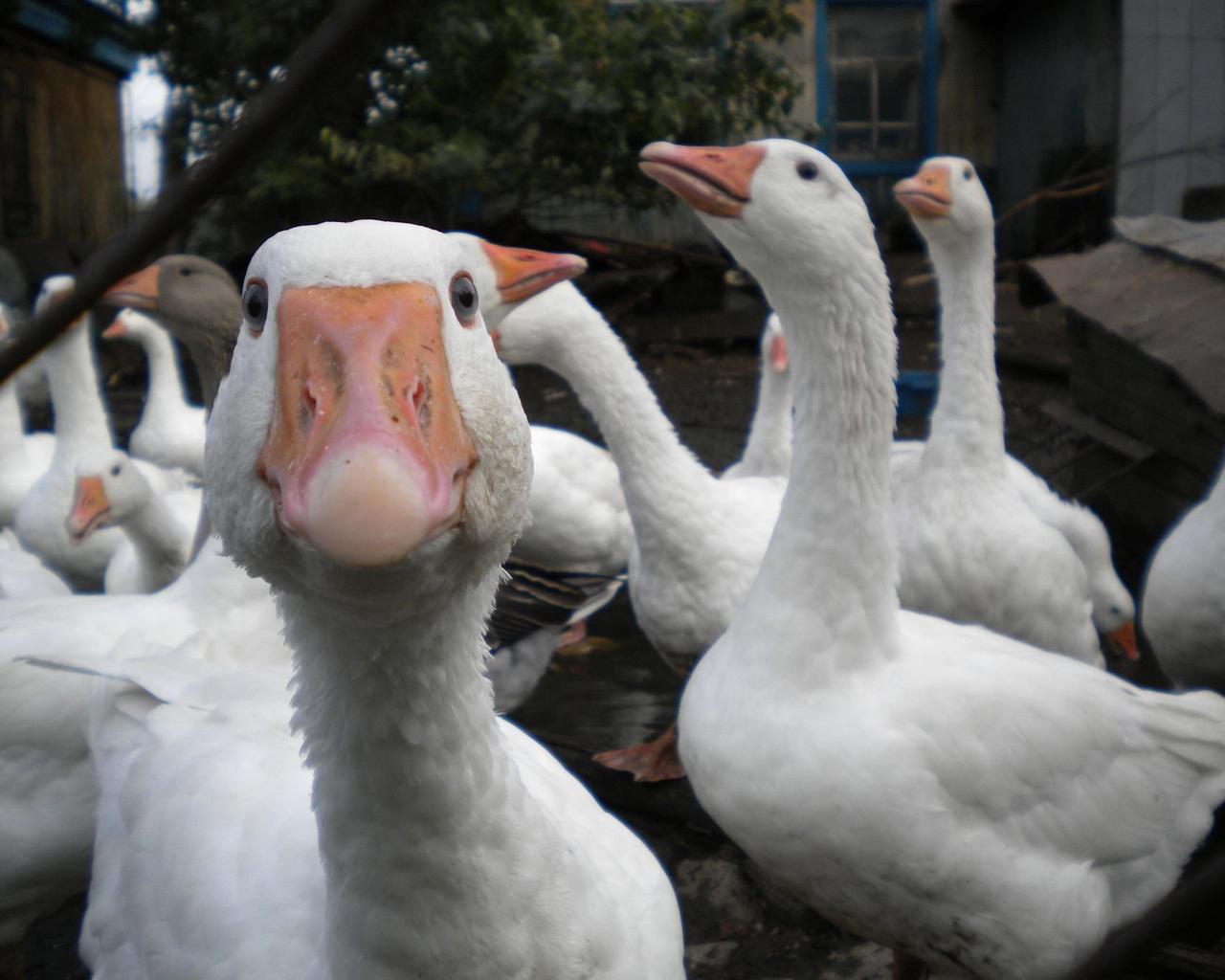 Funny goose wallpaper