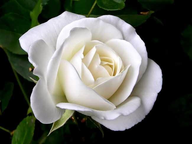 white rose flowers - photo #3