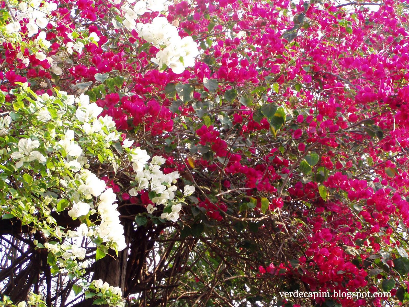 Verde capim si ricomincia for Bouganville fioritura