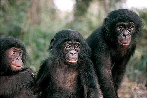 Los Bonobos son una especie de chimpancé que vive en las selvas del ...