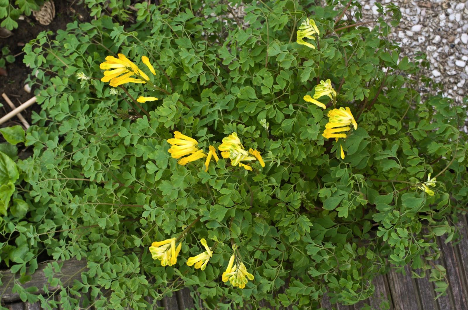 Dins min gardin un jardin dans le nord les hostas se d voilent for Fleurs jaunes jardin vivace