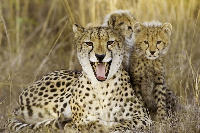 funny animal pictures, chettah mother and her cubs