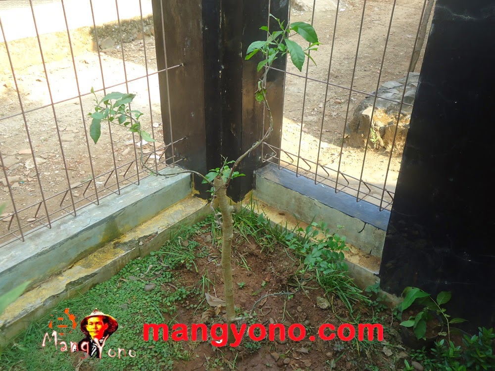 Cara membentuk bonsai serut bagi pemula