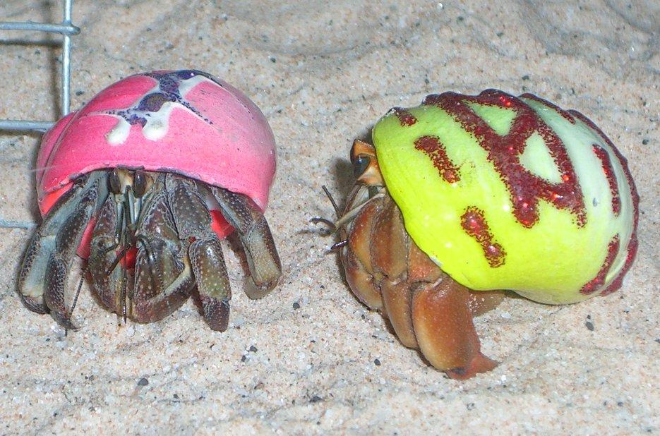 Hermit crab - photo#8