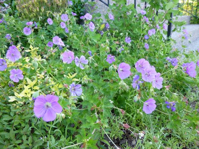 Rozanne Perennial Geranium, sprawling, billowy and floriferous!