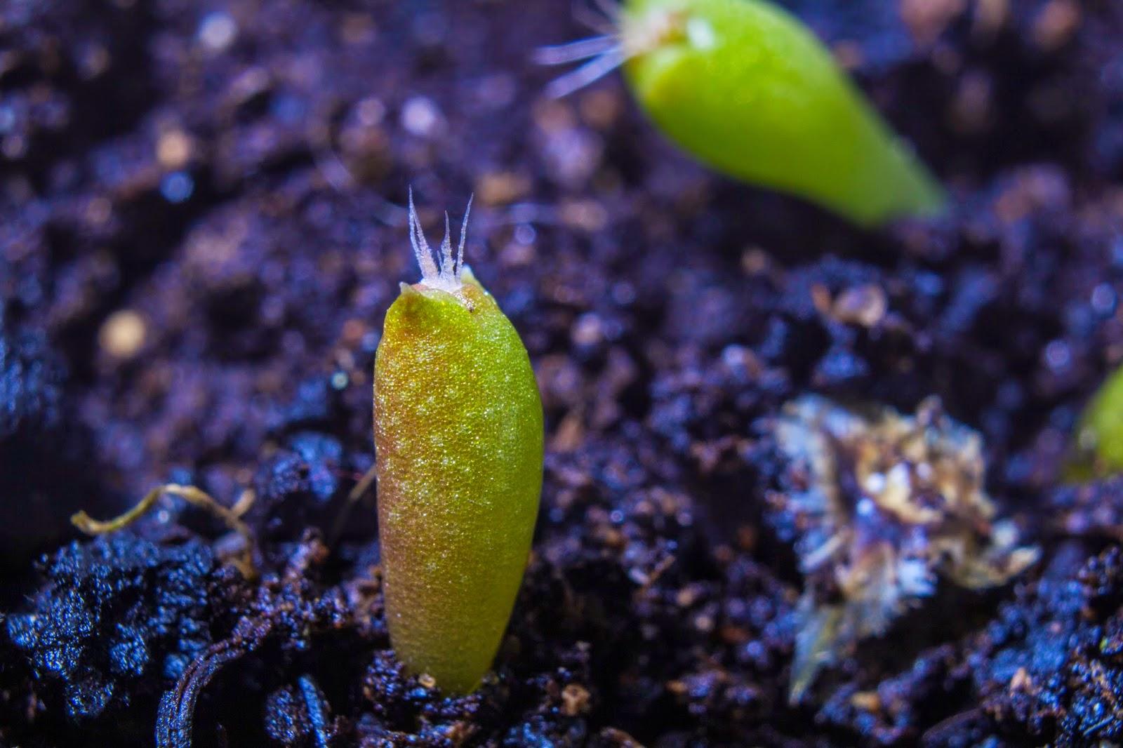 Fotografías macro de brotes de cactus en fotosmacro