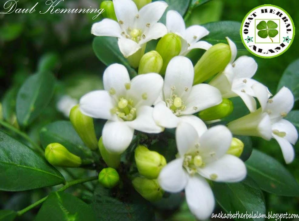 Daun Kemuning, manfaat, khasiat, obat herbal, melangsingkan badan, infeksi saluran kencing
