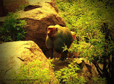 Hamadryas baboon is also known as Sacred Baboon
