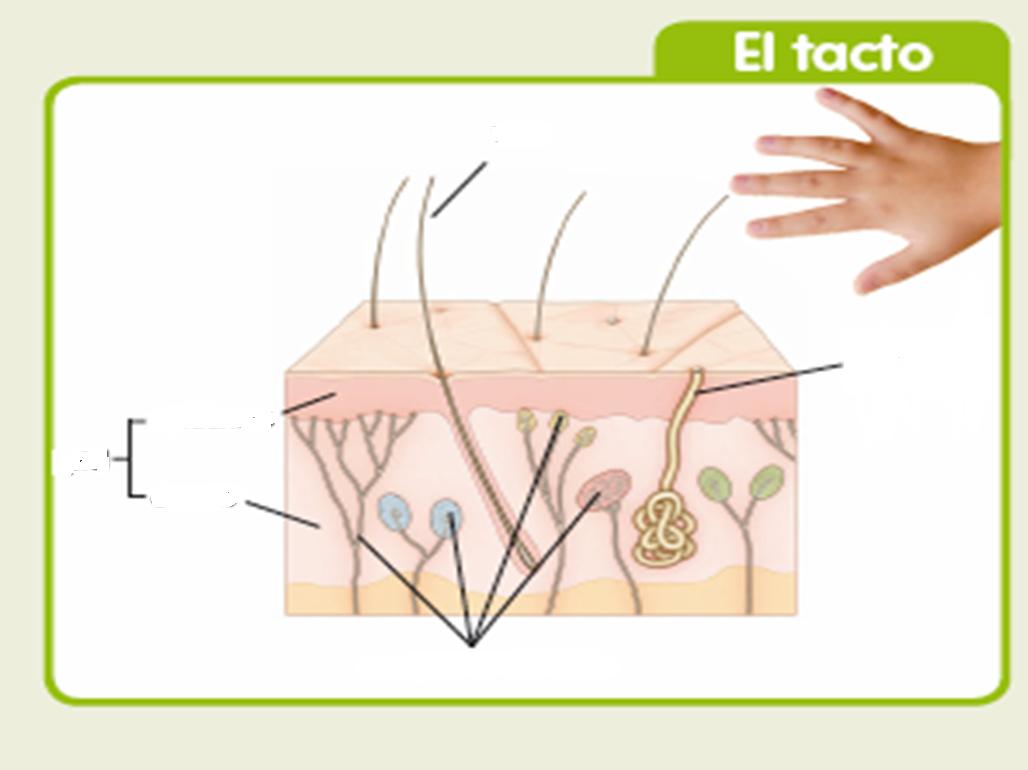 http://www.gobiernodecanarias.org/educacion/3/WebC/eltanque/lossentidos/tacto/tacto_p.html