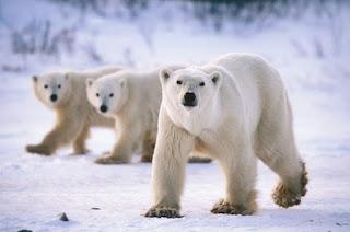Beruang Evolusi