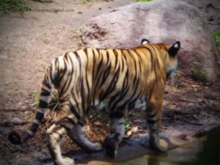 Young Bengal Tiger walking