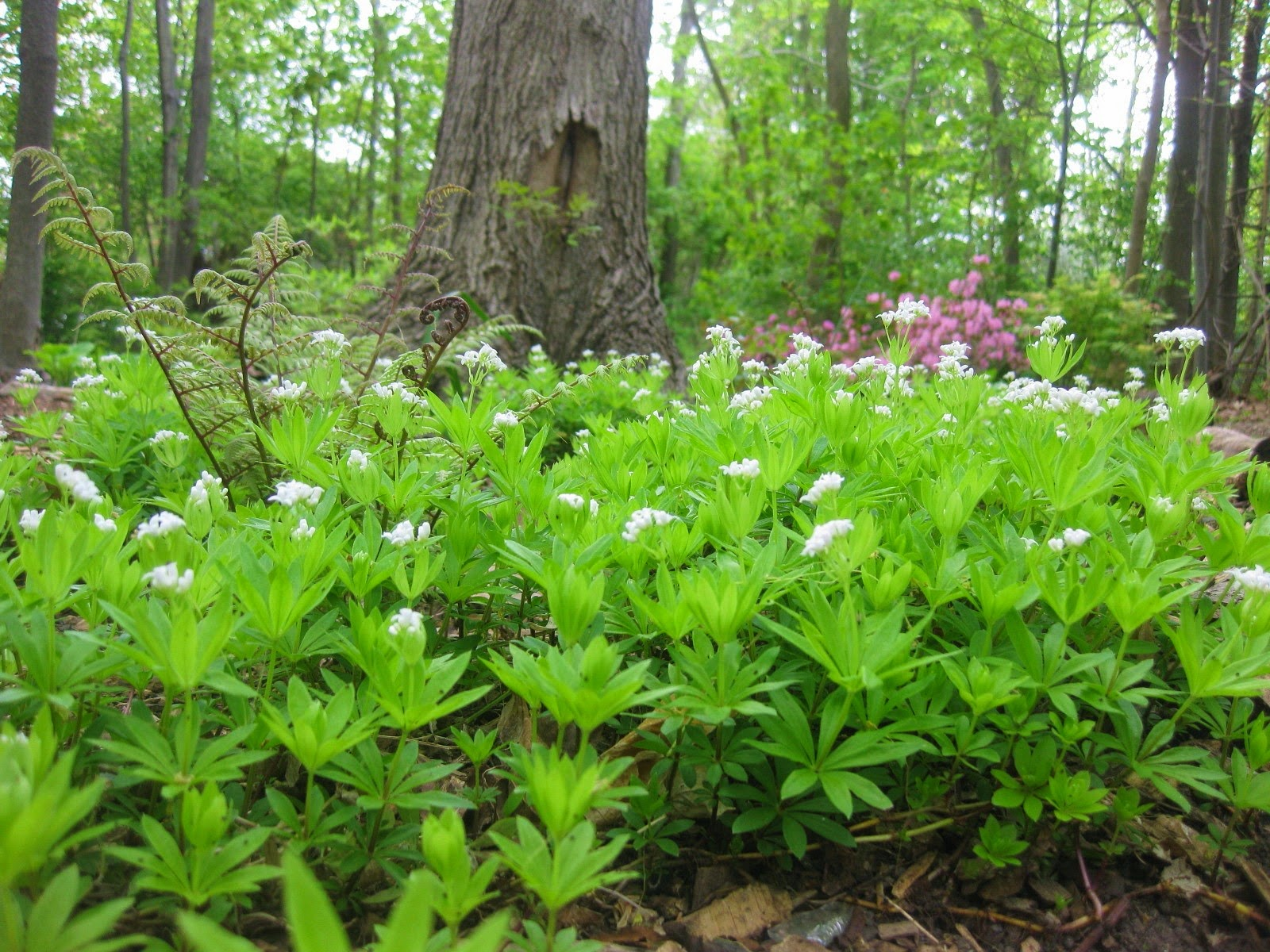 Sweet Woodruff Asperula Odorata Overview Health Benefits Side