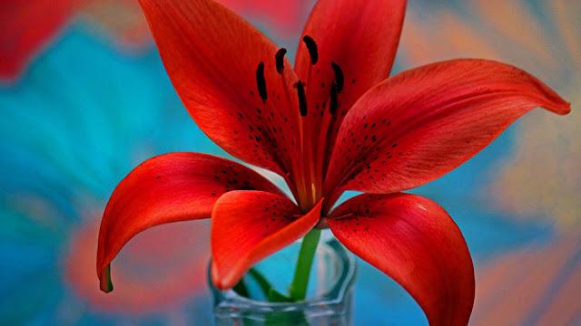 Lirio con lindos petalos rojos