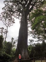 Árvores gigantes...