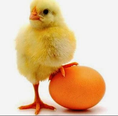 Bagaimana Mentaskan Telur Ayam Tanpa Induk Berbagai Macam Ayam