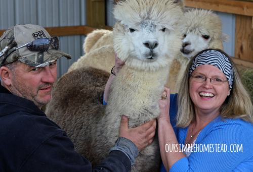 Alpacas: A Farm Friendly Addition, shared by Our Simple Life
