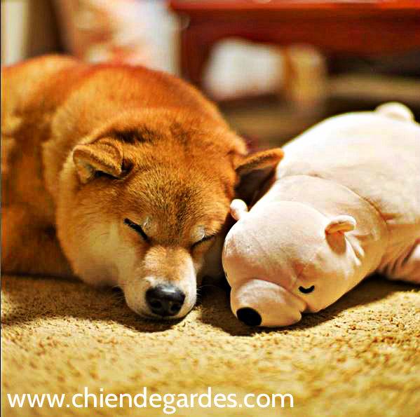 chien de garde japonais