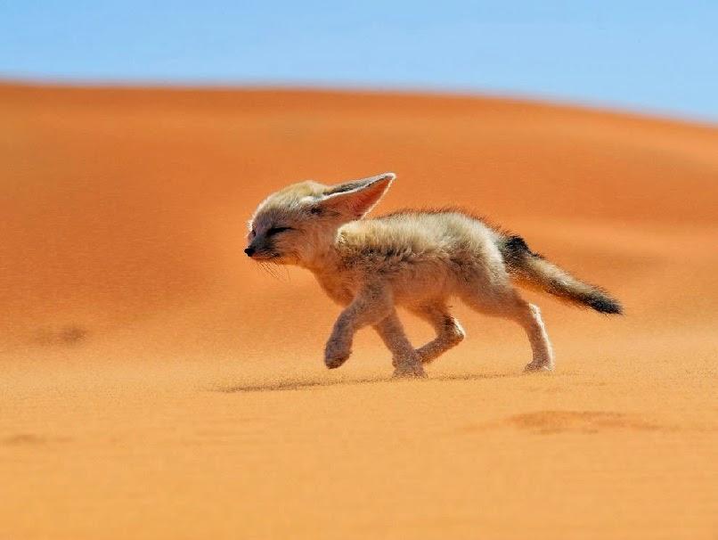 Rubah Fennec Fox
