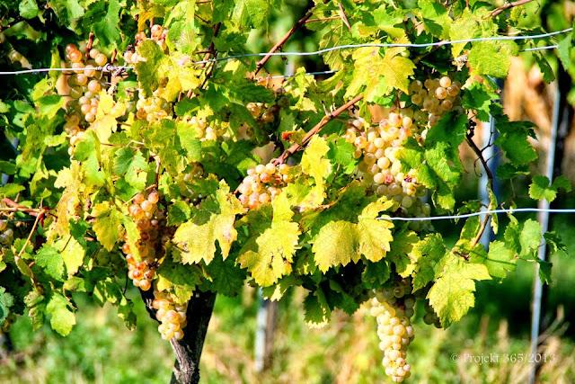271/365 - Úroda vo vinohrade