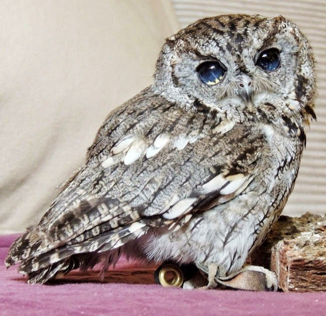 The celestial appearance inspired workers to name him Zeus, after the Roman god of the sky. - It Appears This Gorgeous Blind Owl Has Awe Inspiring Constellations In His Eyes