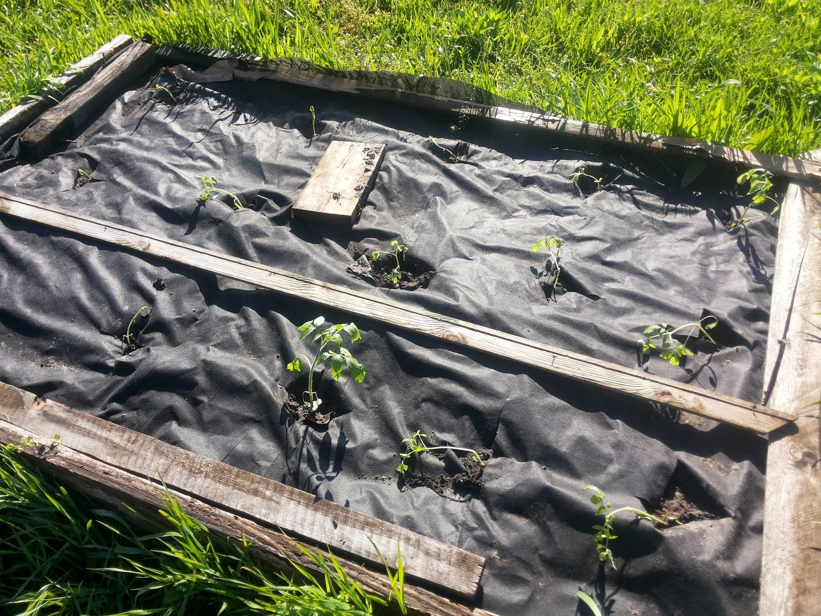 Что делать, чтобы между грядками не росла трава - DELFI 13