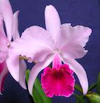 ¿Quieres adoptar una Orquídea?